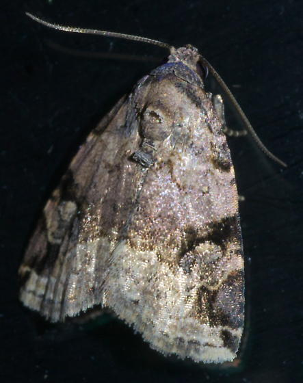 Tan, black, and pinkish moth - Ozarba aeria