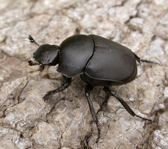 Vigilant Tumblebug - Canthon vigilans