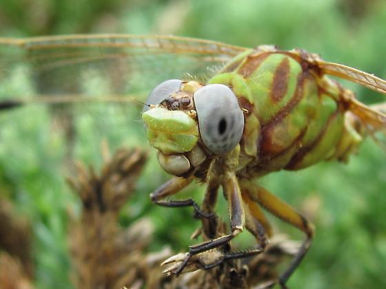 Large Dragonfly - Erpetogomphus designatus