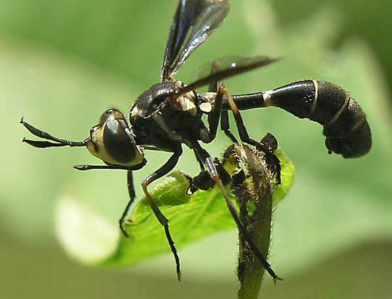 Thick-headed Fly - Physoconops brachyrhynchus - male
