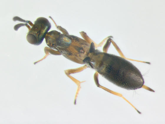 Eupelmidae, dorsal - Eupelmus messene - female