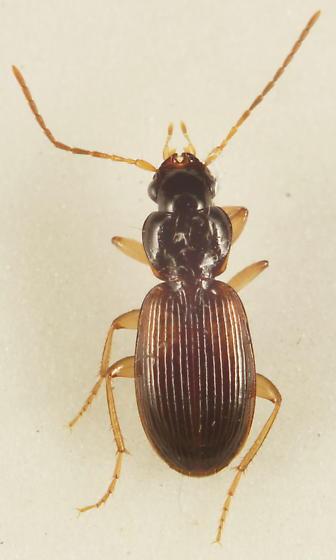 Unknown Carabid - Badister notatus