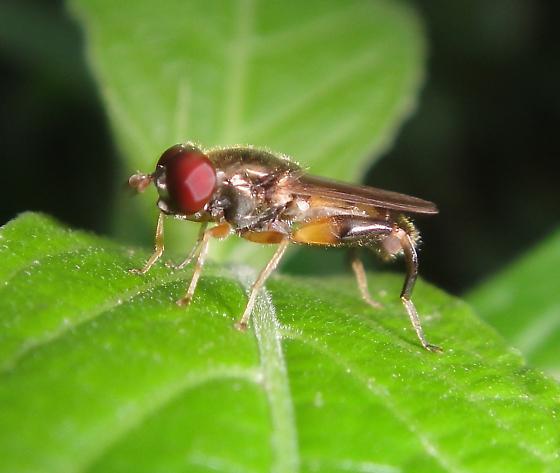 Syrphid, Chalcosyrphus metallicus? - Chalcosyrphus metallicus