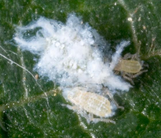 Asian Woolly Hackberry Aphid - Shivaphis celti - femaleWooly Aphid