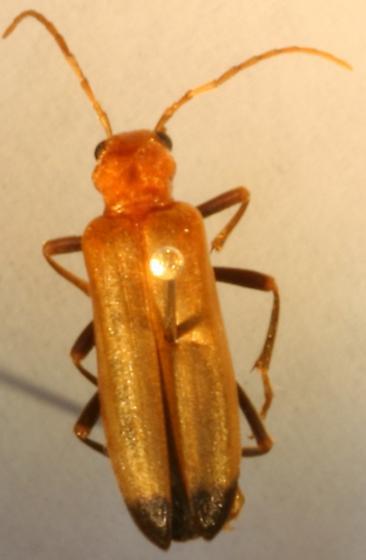 beetle - Nacerdes melanura