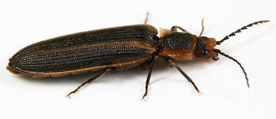 beetle - Denticollis denticornis