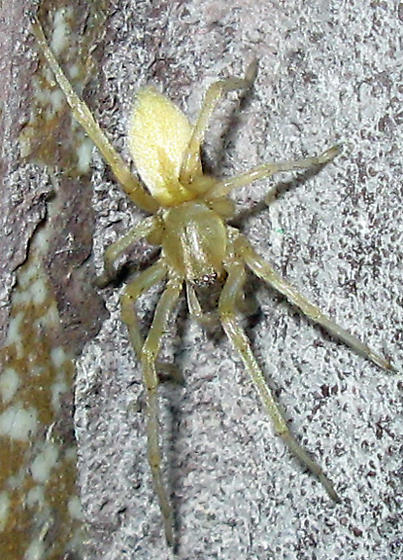 Green and white spider - Cheiracanthium