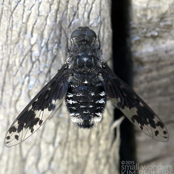 Bee Fly - Anthrax sp.? - Anthrax