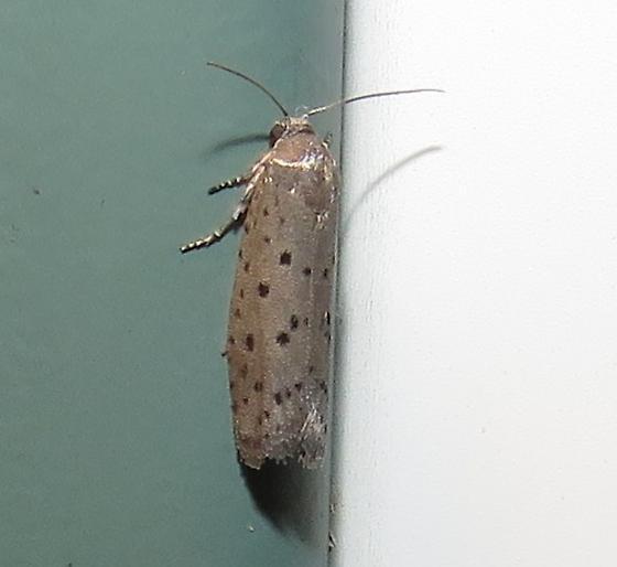Dotted moth - Homadaula anisocentra