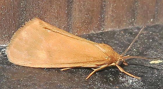 Virbia sp - Virbia aurantiaca