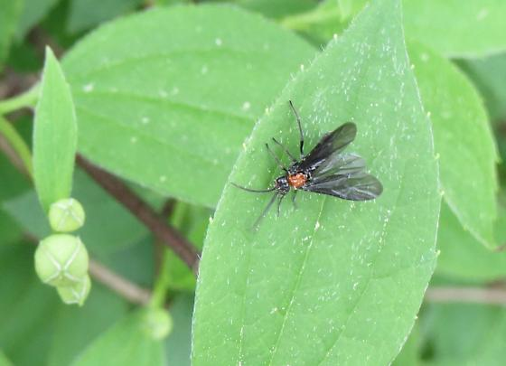Sawfly on Philadelphus coronarius