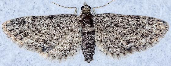 Early Eupitecia - Eupithecia