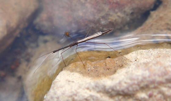 Hydrometra sp., Marsh Treader - Hydrometra