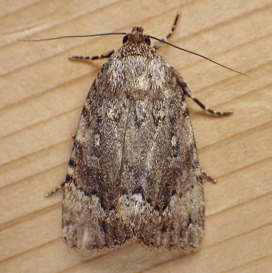 Noctuidae: Amphipyra pyramidoides - Amphipyra pyramidoides