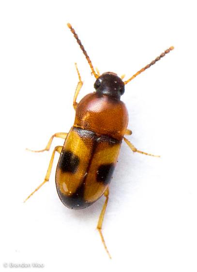 Poecilocrypticus formicophilus