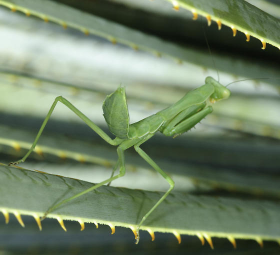 and a French Joe mantid - Stagmomantis limbata - female