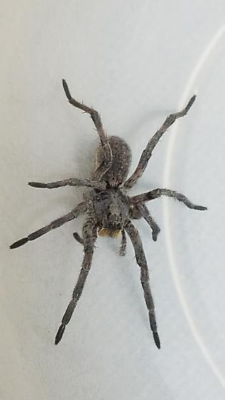 Hogna carolinensis - female