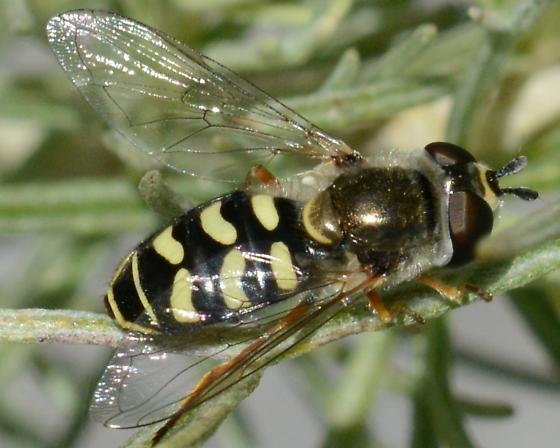 Hover Fly 6 yellow bars - Eupeodes volucris - female