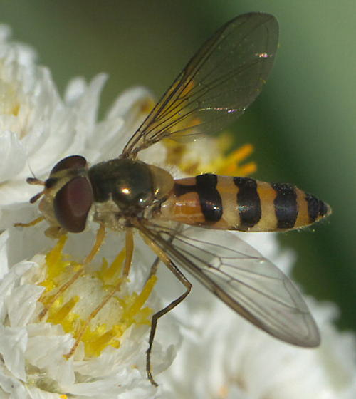 Striped syrphid fly - Meliscaeva cinctella