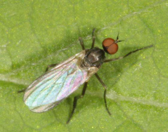 Thin-necked fly on leaf  - Rhamphomyia