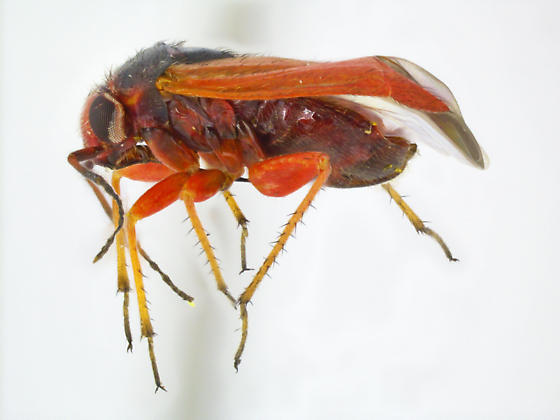 Megalopsallus ephedrae - female