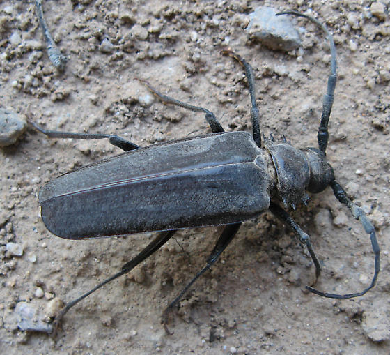 Palo Verde Root Borer? - Derobrachus