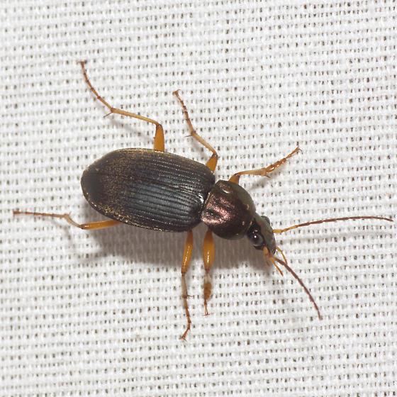 Vivid Metallic Ground Beetle - Chlaenius tricolor - male