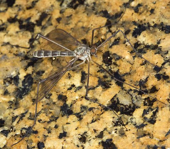 Blephariceridae from underside of splash-zone boulder - Agathon comstocki