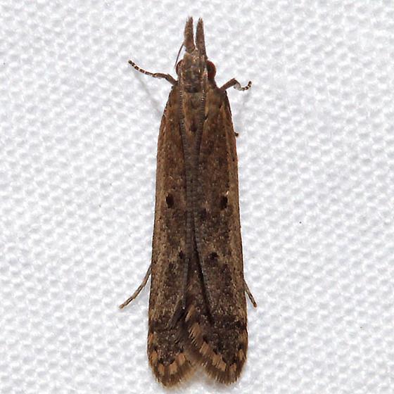 Dichomeris ligulella