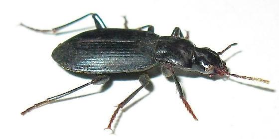 Ground Beetle - Laemostenus complanatus