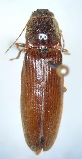 another clicker - Hemicrepidius memnonius