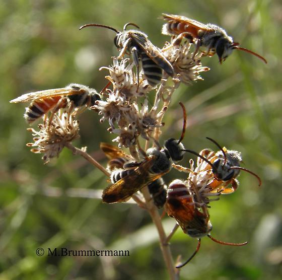 male bees - Dieunomia nevadensis