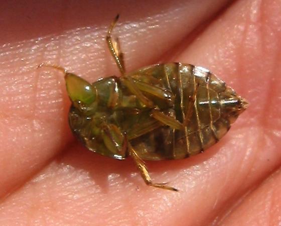 Creeping Water Bug - Pelocoris