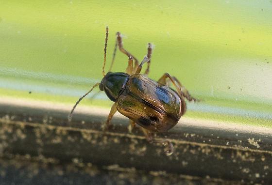 leaf beetle – Paria quadrinotata? - Paria