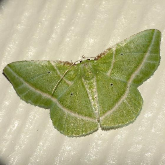 Emerald - Dichorda iridaria