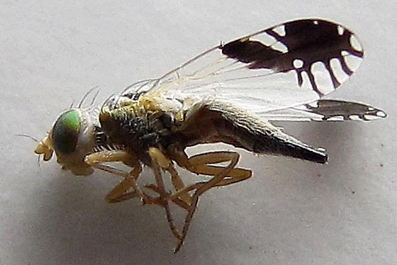 Unid. Trupanea - Trupanea bisetosa - female