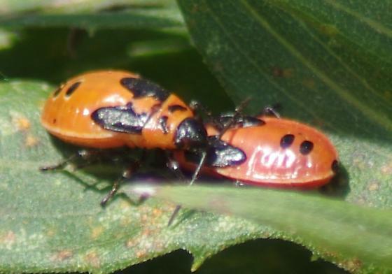 Milkweed Bugs - Lygaeus turcicus