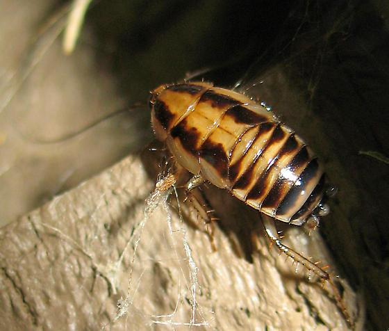 Young Cockroach? - Blattella vaga
