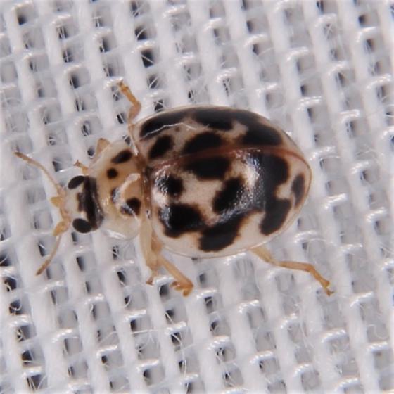 Psyllobora vigintimaculata - Twenty-Spotted Lady Beetle - Psyllobora vigintimaculata