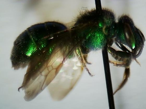 Bee Identification Project  - Augochloropsis - female