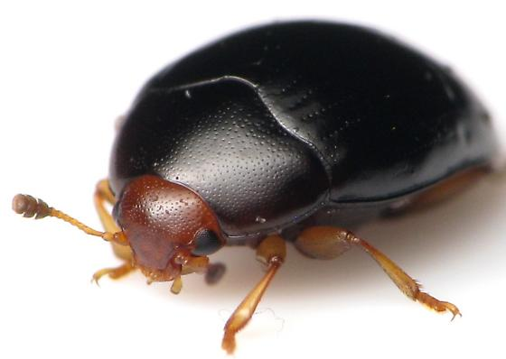 Possible Clown or Fungus Beetle? - Tritoma erythrocephala