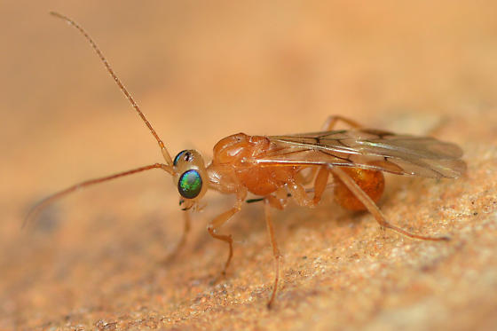 Unknown parasitic wasp - female