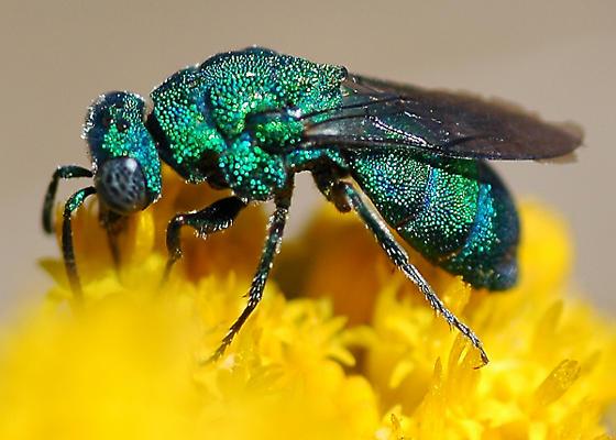Chrysidid Wasp? - Parnopes edwardsii - female