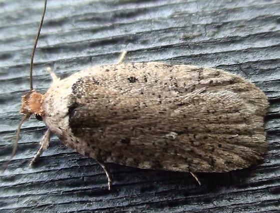 Elachistidae - Agonopterix argillacea
