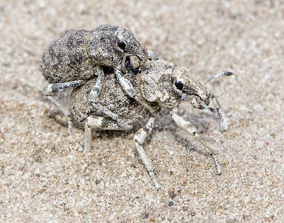 Desert beetles - Ophryastes - male - female