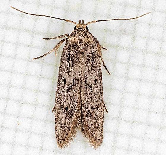 moth - Holcocera chalcofrontella - male