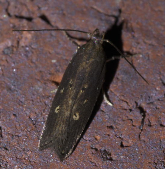 Small, dark brown moth with six spots - Chionodes discoocellella
