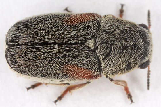 unknown beetle - Coleothorpa axillaris