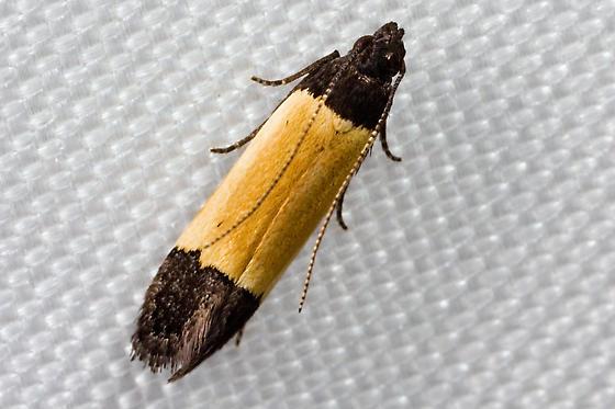 moth - Anacampsis coverdalella