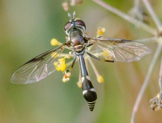unknown Syrphidae - Dioprosopa clavata